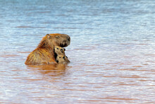 A Capybaras Family Bathing In Paranoá Lake In Front Of JK Bridge In Brasilia. The Capybara Is The Largest Rodent In The World. Species Hydrochoerus Hydrochaeris. Wildlife