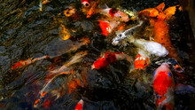 Blurry Fancy Carp Feeding Or Colorful Fish In The Pond Use For Web Design And Wallpaper Background