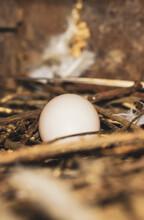 Pigeon Egg In Bird's Nest. Bird Nest White Dove Pigeon Eggs Lay On The Nest In The Morning Sunlight. Pigeon Egg In The Nest.