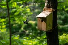 シジュウカラの子育て! シジュウカラのお父さんが、巣箱の中の我が子の排せつ物を咥えて捨てに行きました。 巣の中に排せつ物があるとで、衛生面が損なわれ足り、臭いで天敵のヘビに襲われるリスクを避けるために、給餌とともに行われる大事な仕事です。 因みに排せつ物は親鳥が咥えて運びやすいように袋状になっています。