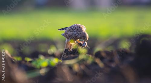 Valokuva Raubvogel mit einer Maus, fressen, Falken
