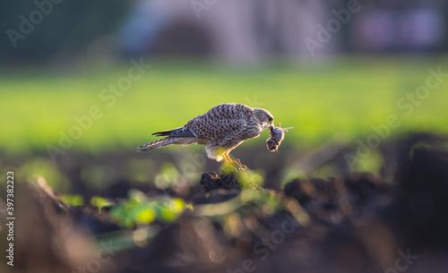 Canvas-taulu Raubvogel mit einer Maus, fressen, Falken