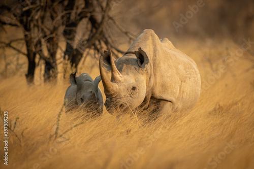 Obraz na plátně Baby black rhino in grass beside baby