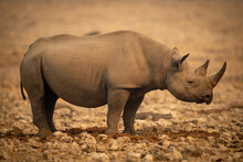 Black Rhino Stands In Profile Among Rocks