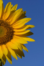 A Beautiful Half Common Sunflower, Isolated On A Blue Sky.