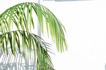 Zielone liście palmy na jasnym tle, ładne tropikalne tło.