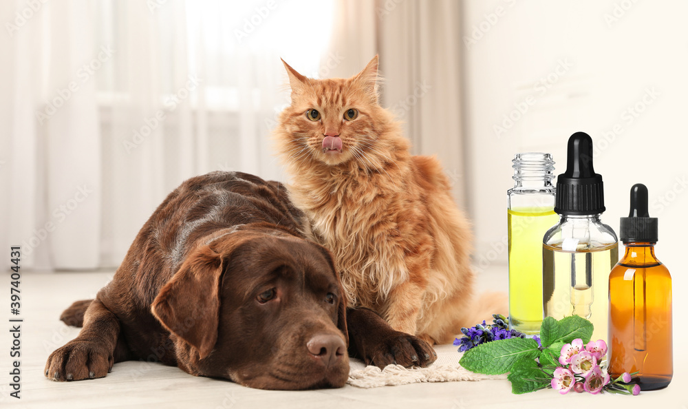 Fototapeta Aromatherapy for animals. Essential oils near dog and cat on background