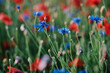 canvas print picture - Close up of blue knapweed and red poppy flowers on the field.