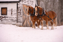 Two Clydesdale Horses In Winter. Old Vintage Stable Barn