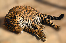 A Strong And Powerful Jaguar Resting After A Hunt And A Delicious Breakfast