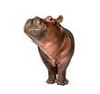 canvas print picture Hippo calf, 3 months old, isolated, Hippopotamus amphibius