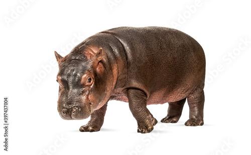 Stampa su Tela Hippo calf, 3 months old, isolated, Hippopotamus amphibius