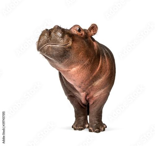 Fotografia, Obraz Hippo calf, 3 months old, isolated, Hippopotamus amphibius