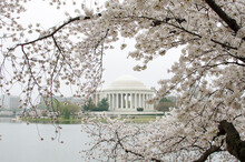 Jefferson Memorial During Cherry Blossom Festival In Springtime - Washington D.C. United States Of America