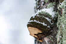Chaga Mushroom Growing On A Pine On A Background Of A White Winter Sky