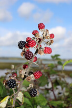 A Bramble Branch With Ripening Blackberries
