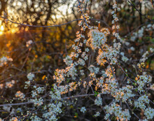 Flowering Hawthorn Hedgerow At Dawn