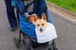 ペットカートに乗って散歩する歩けなくなった老犬