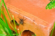 Female Spider Sits On A Brick. Color