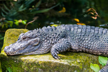 The Closeup Image Of Chinese Alligator (Alligator Sinensis). A Critically Endangered Crocodile Endemic To China.  Dark Gray Or Black In Color With A Fully Armored Body.