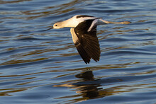 Close-up Of An American Avocet Flying Over Water , Seen In The Wild In A North California Marsh