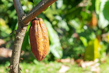 Cacao Tree With Cacao Pods In A Organic Farm...