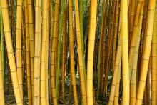 Tiges De Bambous Verts Dans Le Parc De La Bambouseraie D'Anduze