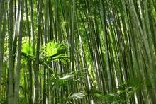 Forêt De Bambous Verts Dans Le Parc De La Bambouseraie D'Anduze