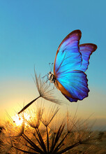 Natural Pastel Background. Morpho Butterfly And Dandelion. Seeds Of A Dandelion Flower In Drops Of Water On A Background Of Sunrise.