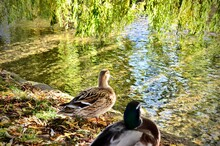 Male And Female Mallard On The Riverbank