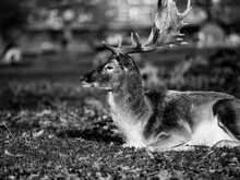 Male Deer Stag In The Woods Lying Down.