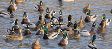 Group Of Waterfowl Ducks On The Lake