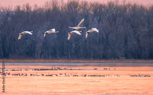 Fotografie, Obraz A group of swans are flying across Mississippi River at sunset time