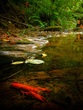 Bright Red Crawdad In The Smith River, Siuslaw National Forest, Oregon Coast Range