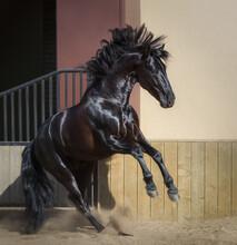 Beautiful Black Andalusian Horse Play In Paddock.