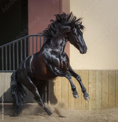 Fotografia Beautiful black Andalusian horse play in paddock.