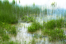 Clump Green Horsetail In Small Swamp On Summer Day