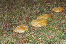 Large Mushrooms In The Forest.