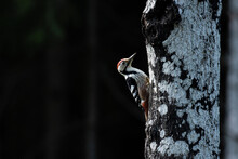 Threatened Species White-backed Woodpecker, Dendrocopos Leucotos Climbing A Tree In Estonian Boreal Forest During Late Autumn.
