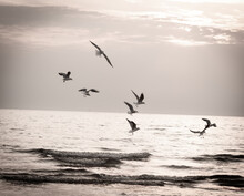 Seagulls Over The Evening Sea