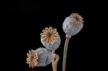 Three Dried Poppy Seed Pods Isolated On Black