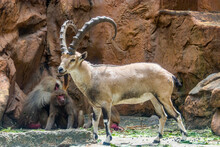 A Nubian Ibex (Capra Nubiana) Stands On The Rock. It Is A Desert-dwelling Goat Species Found In Mountainous Areas Of Northern And Northeast Africa, And The Middle East. A Hamadryas Baboon Is Behind It