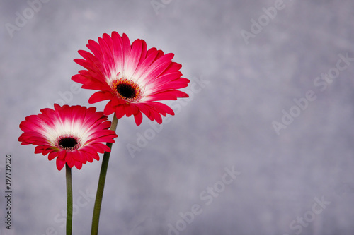 Fototapety, obrazy: Flower in a pot on gray background.