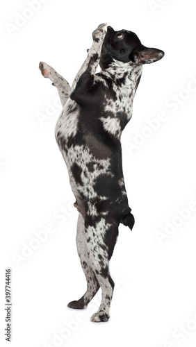 Canvas Print dog standing on its hind legs on a white background