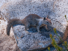 Squirrel In Mount San Jacinto State Park, Palm Springs, Riverside County, California