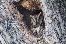 Camouflage Of The Eastern Screech Owl (Megascops Asio)
