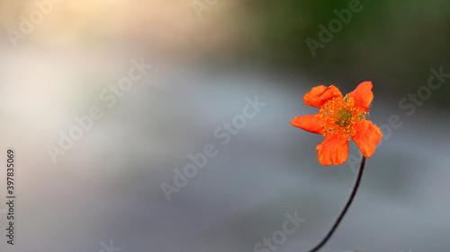 Czerwony kwiatek na łodydze.  - fototapety na wymiar