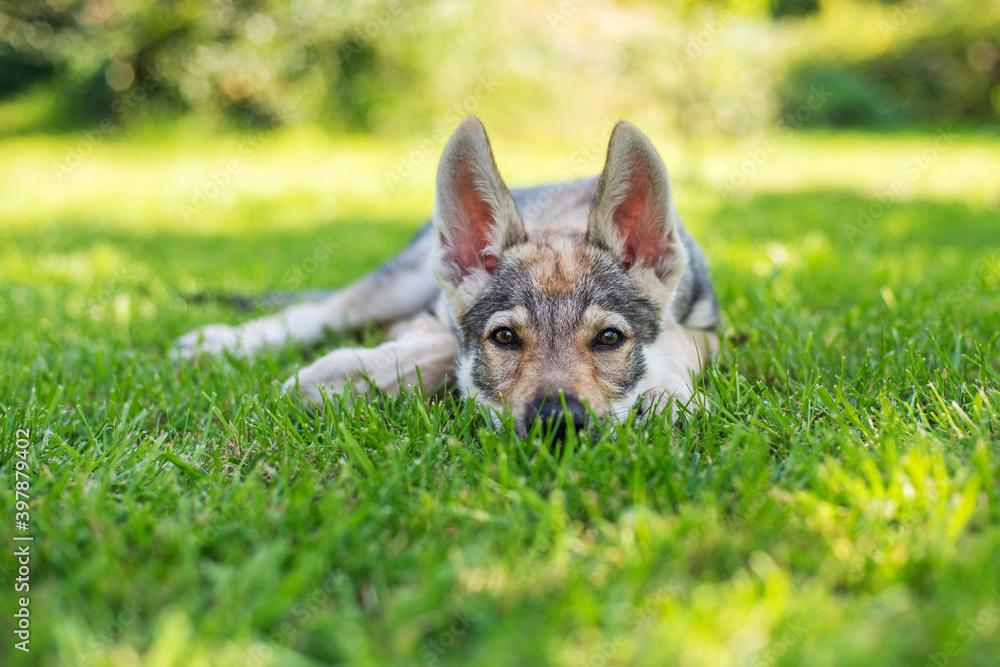 Fototapeta Szczeniak leżący na trawie