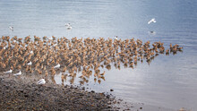 Colony Of Straight-billed Curlews (Limosa Heamastica) In Their Migration Period, On Isla Quinchao, Chiloe, Chile