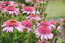 Echinacea Purpurea 'Papallo Semi-Double Pink' Coneflower Blooming In The Summer Months